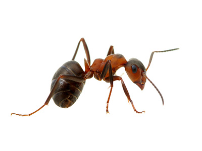 Image of Ant on White Background